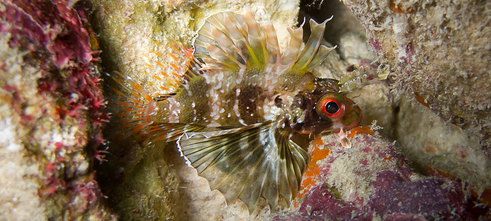 Hawaiian Green Lionfish_20100713(Crop).jpg