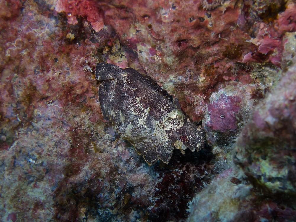 Leaf Scorpionfish_20131230.jpg
