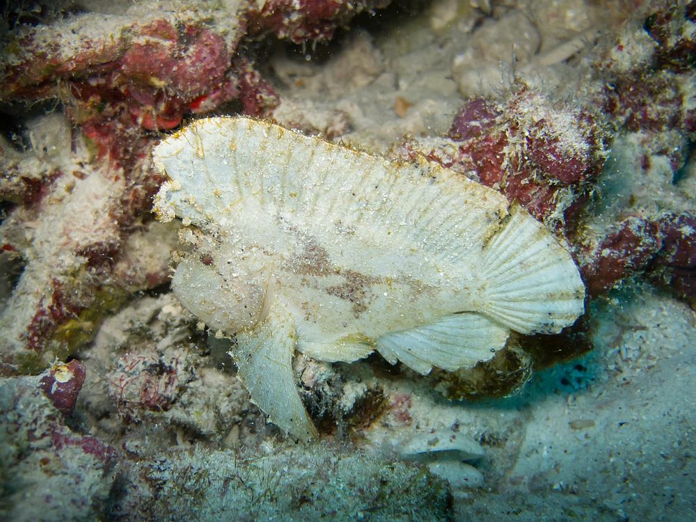 Leaf Scorpionfish_20100216.jpg