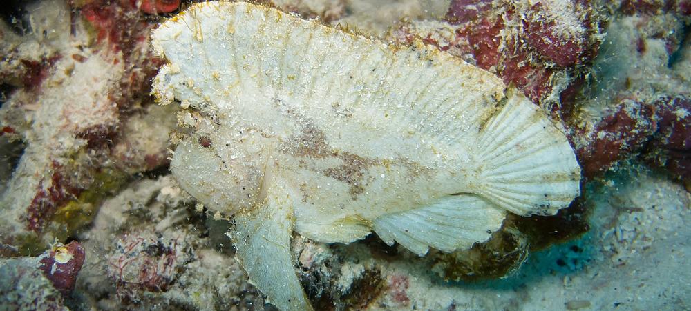 Leaf Scorpionfish_20100216(Crop).jpg
