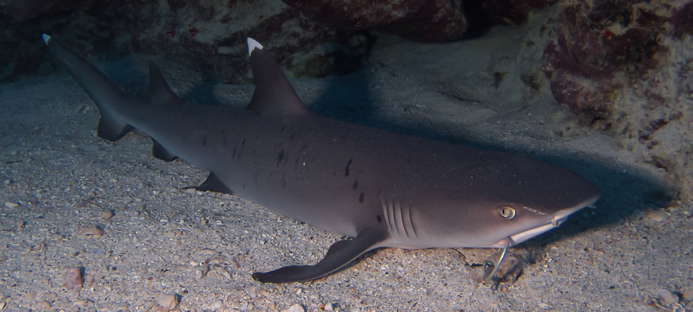 Whitetip Reef Shark_20140603(Crop).jpg