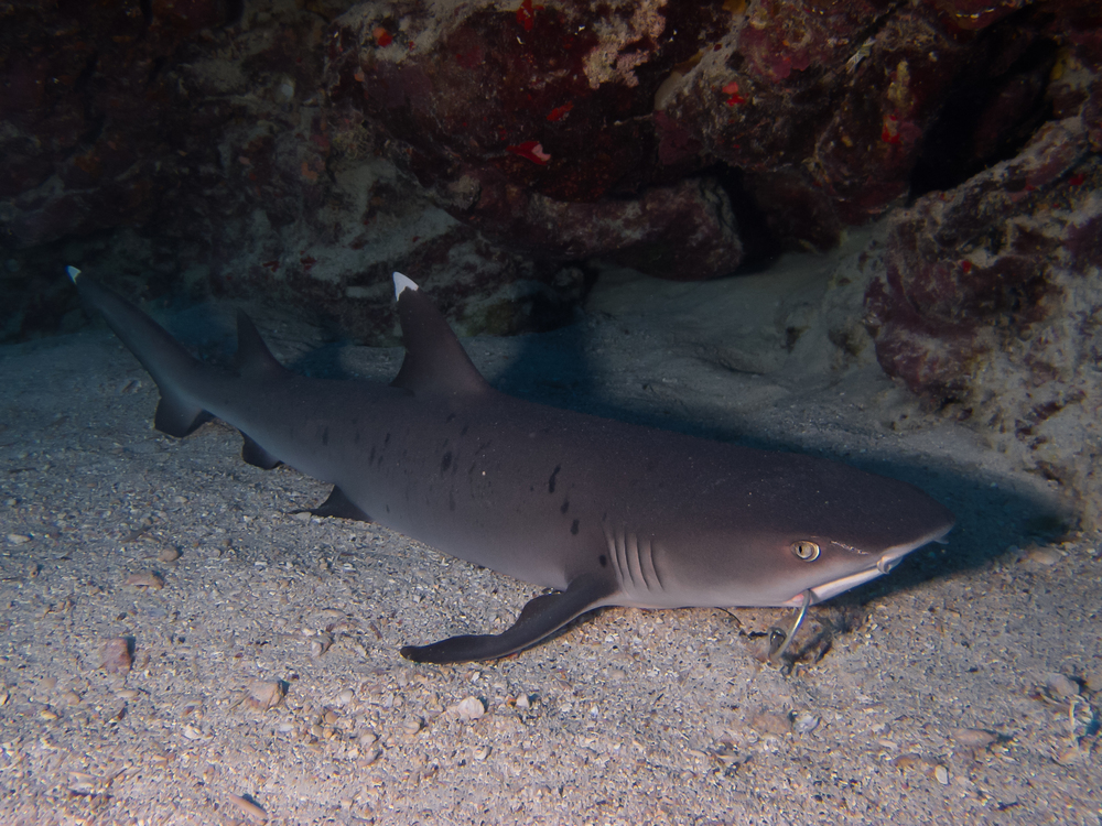 Whitetip Reef Shark_20140603.jpg