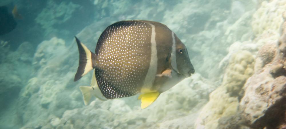 Whitespotted Surgeonfish_20100812(Crop).jpg