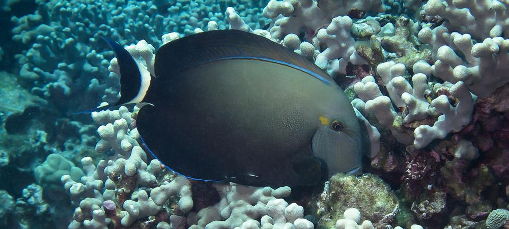 Ringtail Surgeonfish_20140612(Crop).jpg