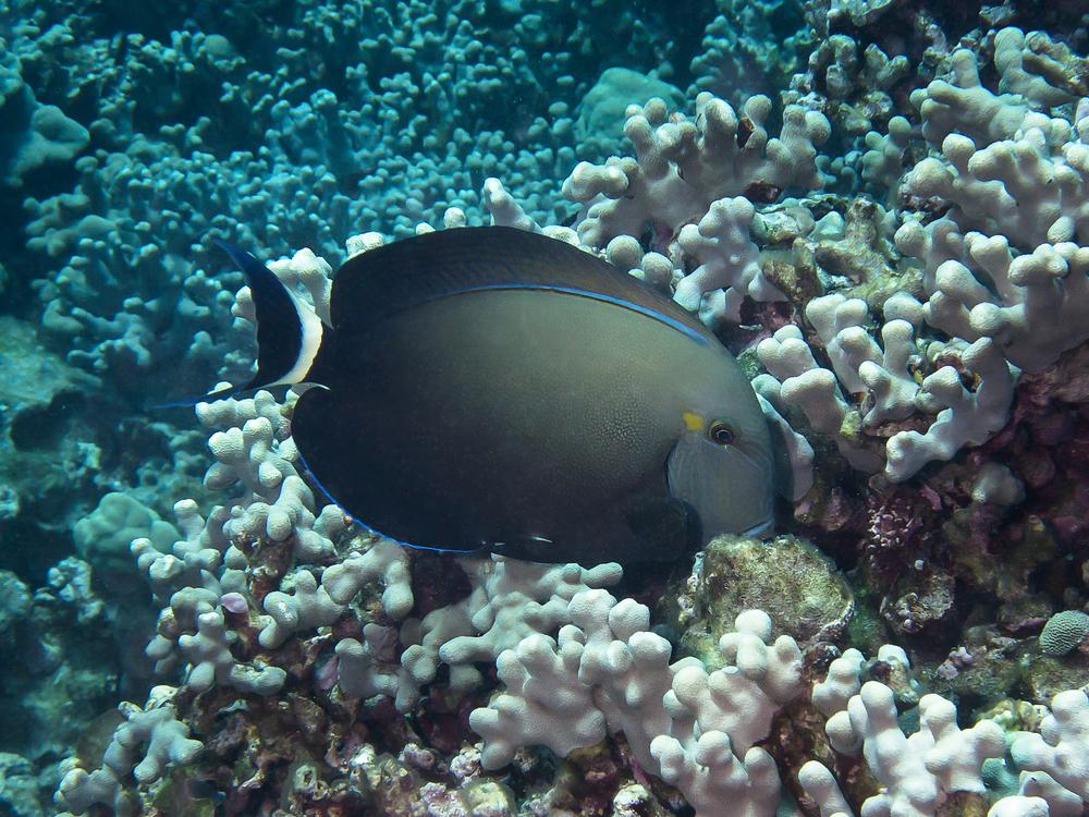 Ringtail Surgeonfish_20140612.jpg