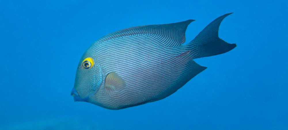 Goldring Surgeonfish_20140426(Crop).jpg