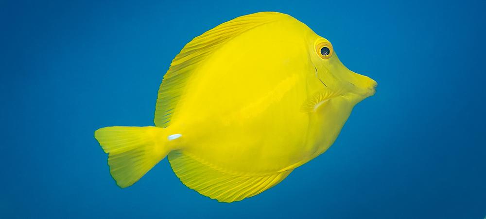 Yellow Tang Surgeonfish_20140422(Crop).jpg