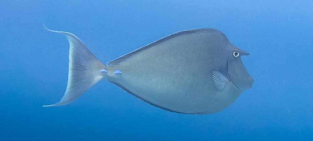 Bluespine Unicornfish_20140112(Crop).jpg