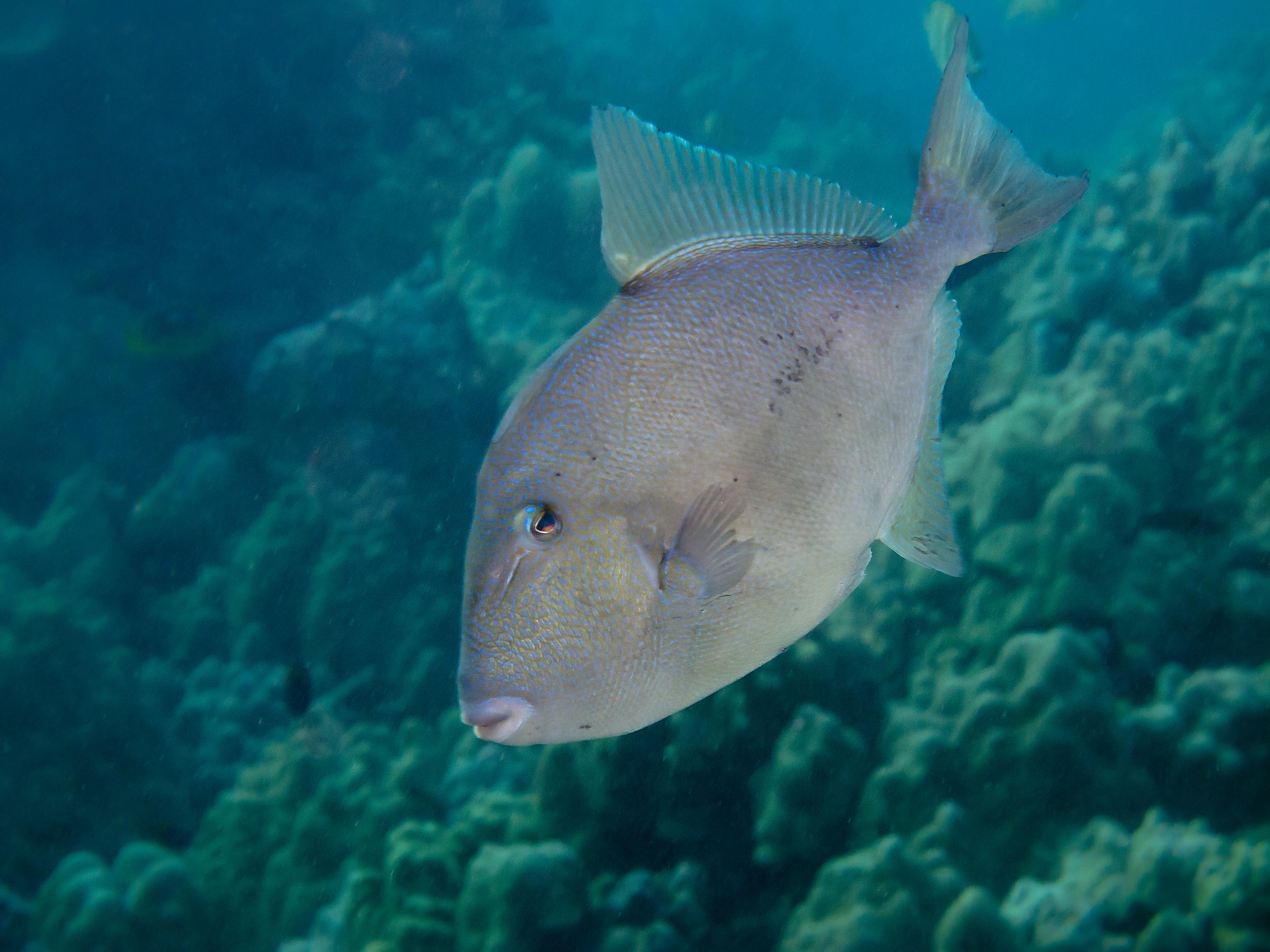finescale triggerfish u2014 david rafalovich photography