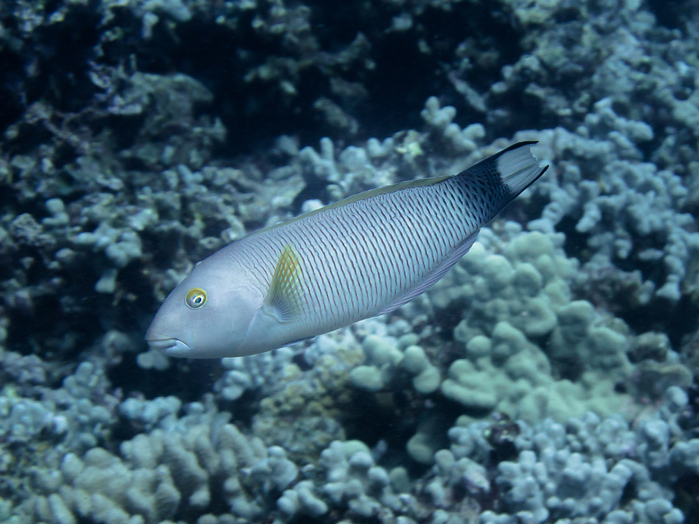 Old Woman Wrasse_20130715.jpg