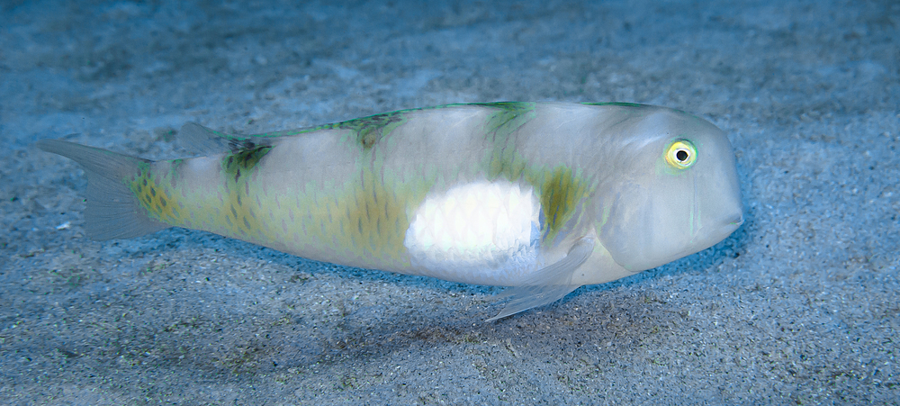 Whitepatch Razor Wrasse_20131127-(Crop).jpg