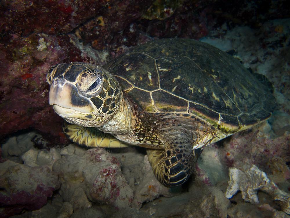 Green Sea Turtle_20140426.jpg