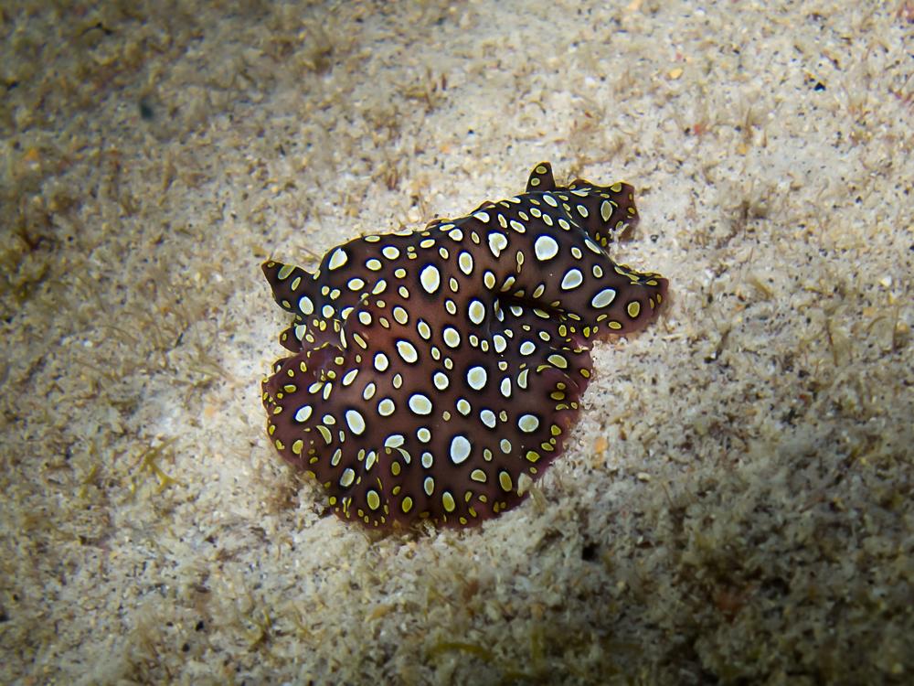 Hawaiian Spotted Flatworm_20100917.jpg