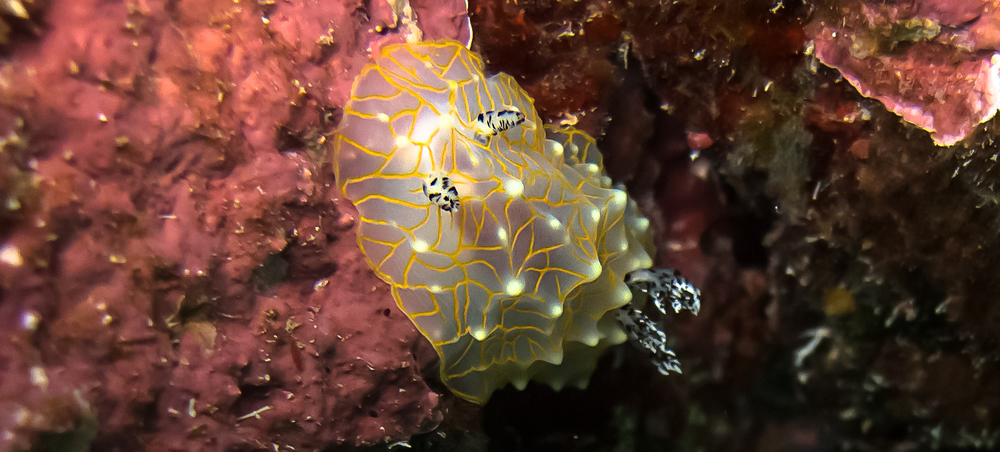 Gold Lace Nudibranch_20140422(Crop).jpg