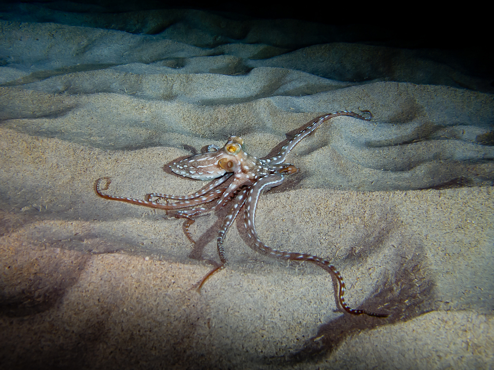 Ornate Octopus_20101207.jpg