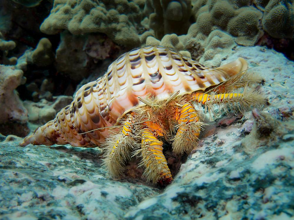 Hairy Yellow Hermit Crab_20140203.jpg