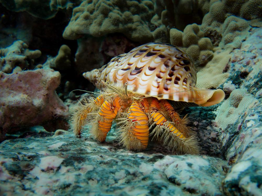Hairy Yellow Hermit Crab_20140203-2.jpg