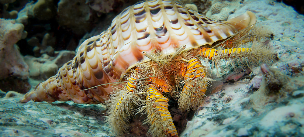 Hairy Yellow Hermit Crab_20140203(Crop).jpg