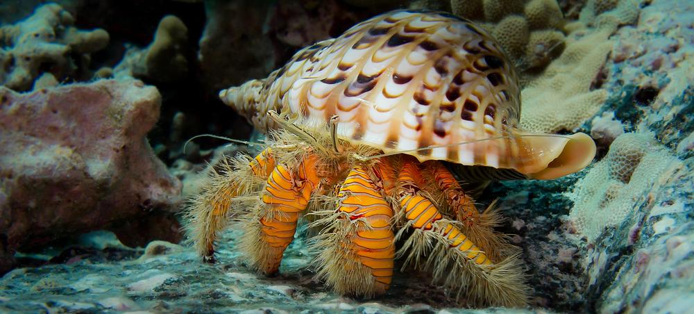 Hairy Yellow Hermit Crab_20140203-2(Crop).jpg