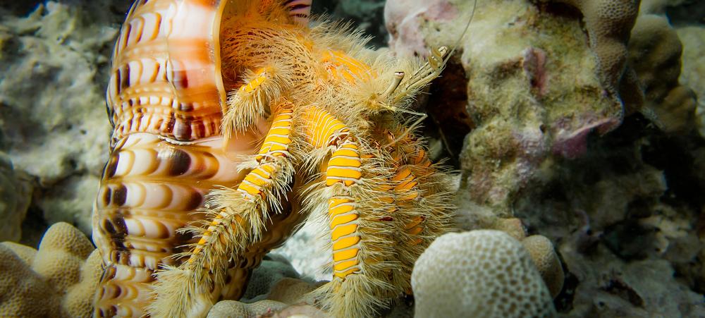 Hairy Yellow Hermit Crab_20140203-3(Crop).jpg