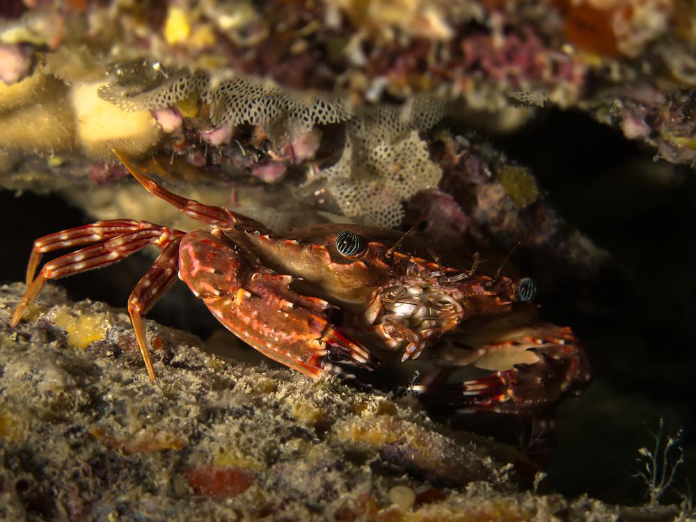 Hawaiian Swimming Crab_20140605.jpg
