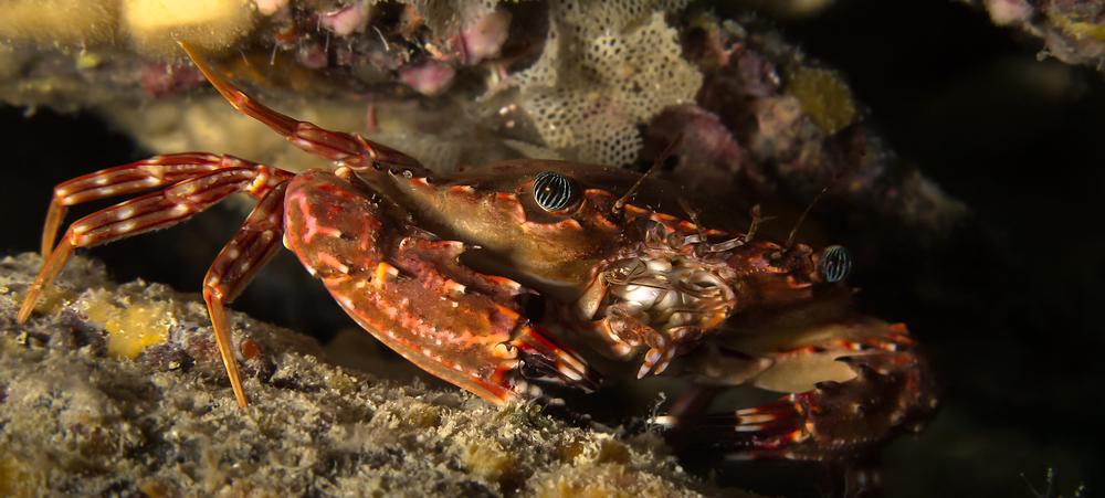 Hawaiian Swimming Crab_20140605(Crop).jpg
