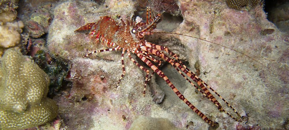 Marbled Shrimp_20111230(Crop).jpg