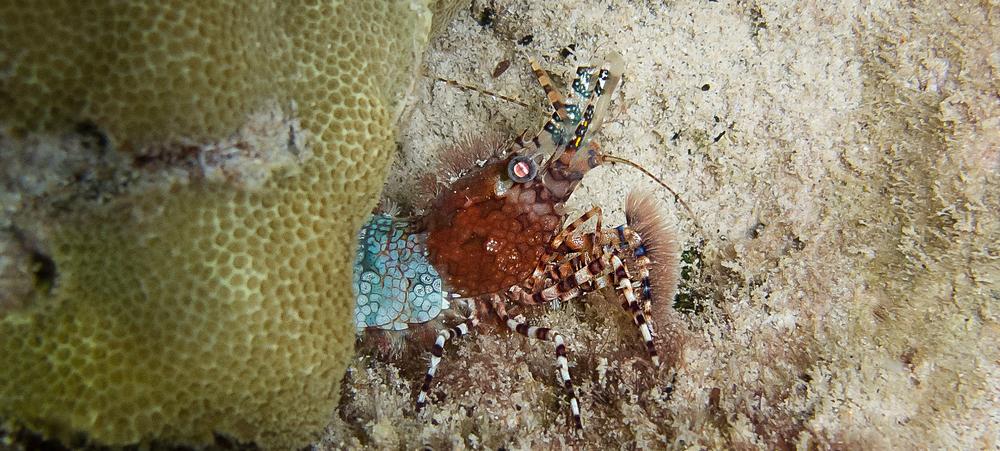 Marbled Shrimp_20100917(Crop).jpg