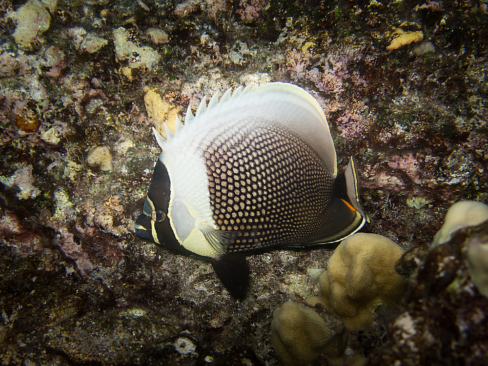 Reticulated Butterflyfish_20110918.jpg