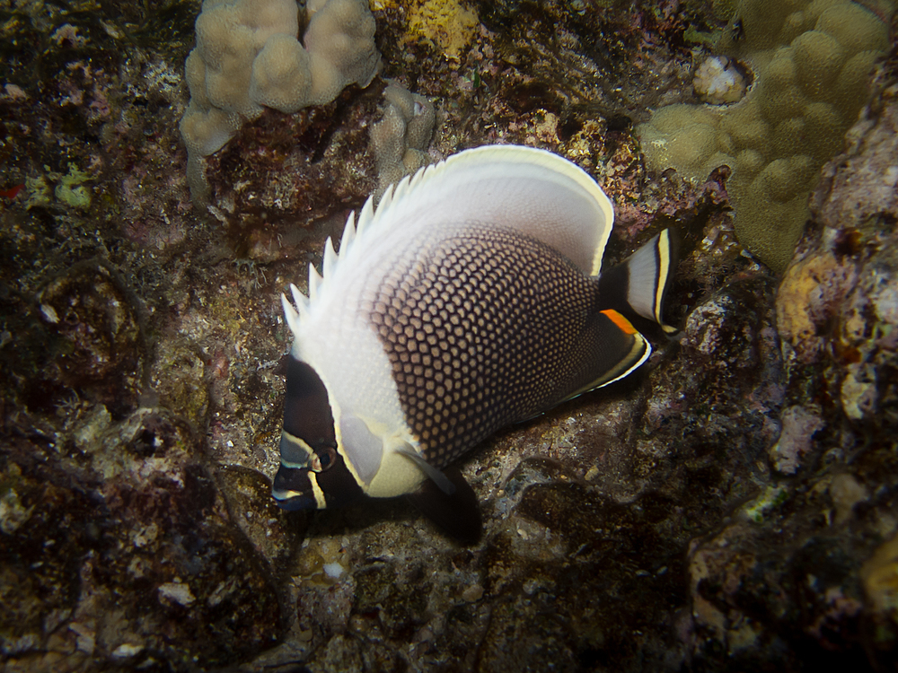 Reticulated Butterflyfish_20110918-2.jpg
