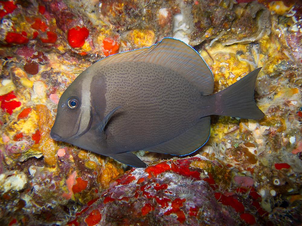 Whitebar Surgeonfish_20110918.jpg