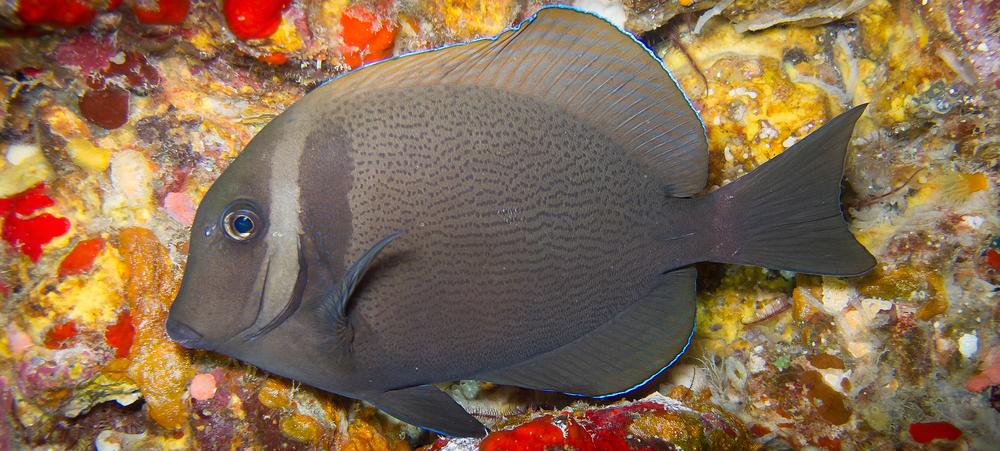 Whitebar Surgeonfish_20110918(Crop).jpg