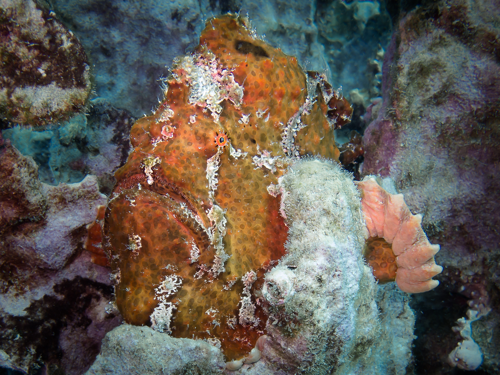 Commerson's Frogfish_20140422-4.jpg