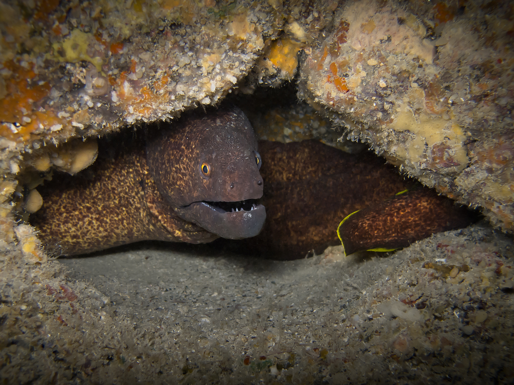 Yellowmargin Moray Eel_20140415.jpg