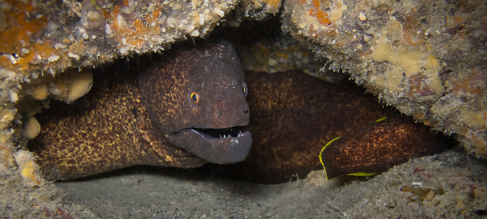 Yellowmargin Moray Eel_20140415(Crop).jpg