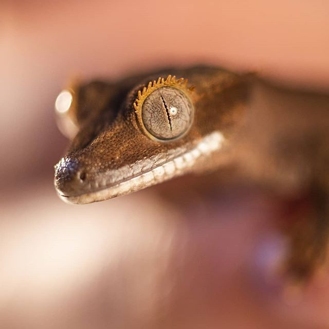 Had a mini session with Papaya the Crested Gecko today! Such a cool little dude!
