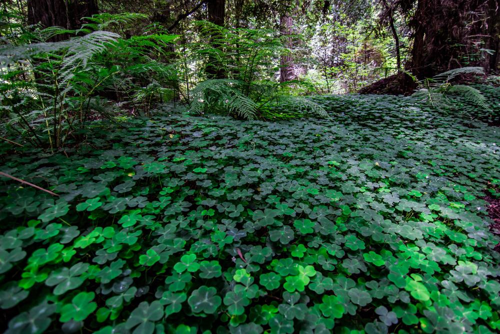 Under the Redwoods were fields of clover.