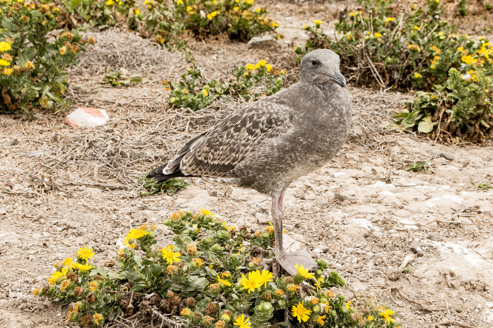 One of the thousands of fledgling gulls.  Camouflaged compared to their more familiar black and white parents.
