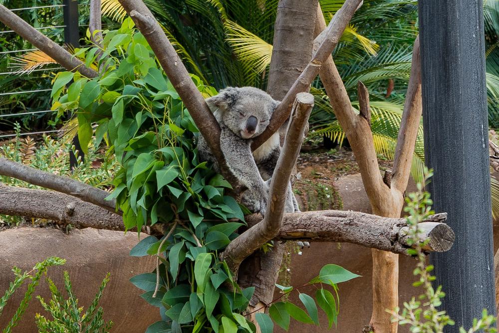 Koalas are cute.