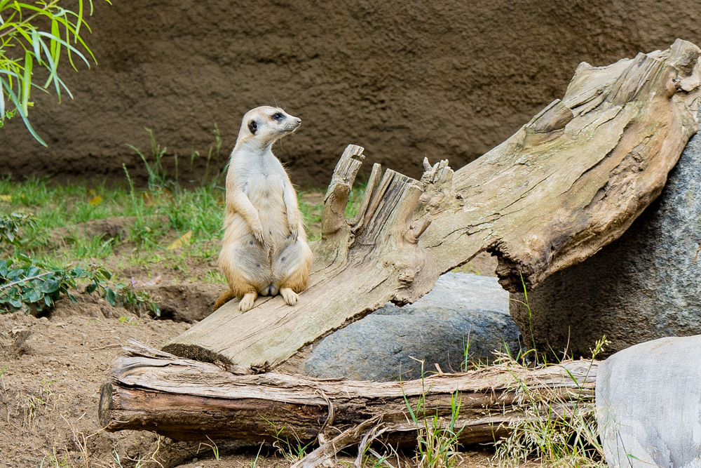 I completely identify with this Meerkat.