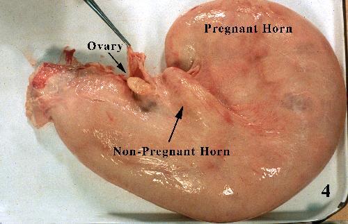 Pregnant_Bovine__4c24bd82b728d.jpg