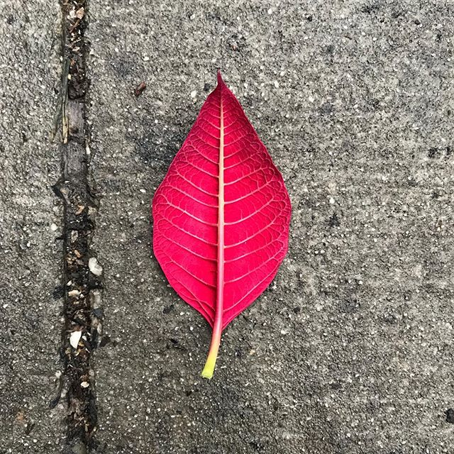 Stray poinsettia leaf vibrating against the gray sidewalk. Color can be so intense sometimes. #iseeyou #nofilterneededforthisbeauty