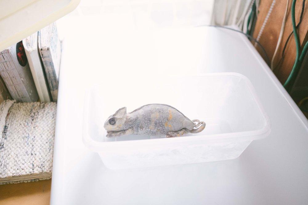 小小的房裡還塞了一個冷凍庫,拿出一隻製作的變色龍標本讓我們瞧瞧。不喜歡用福馬林那麼強烈的藥劑,所以還有點味,Hazen的標本製作是另一種溫柔延續生命的方式。