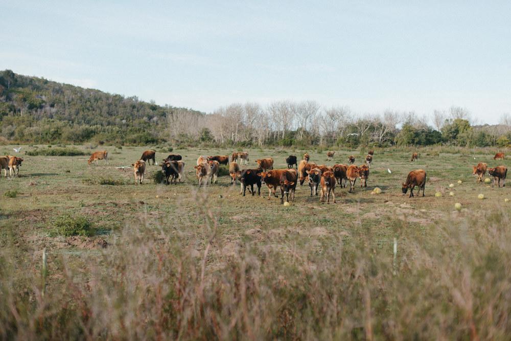 cows overberg adventure