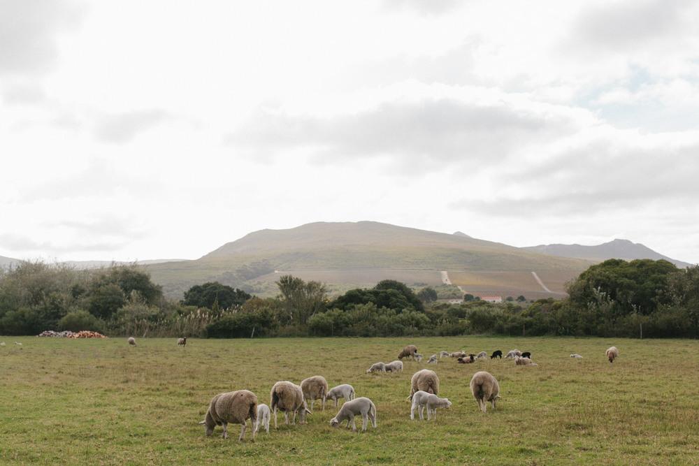 sheep western cape getaway