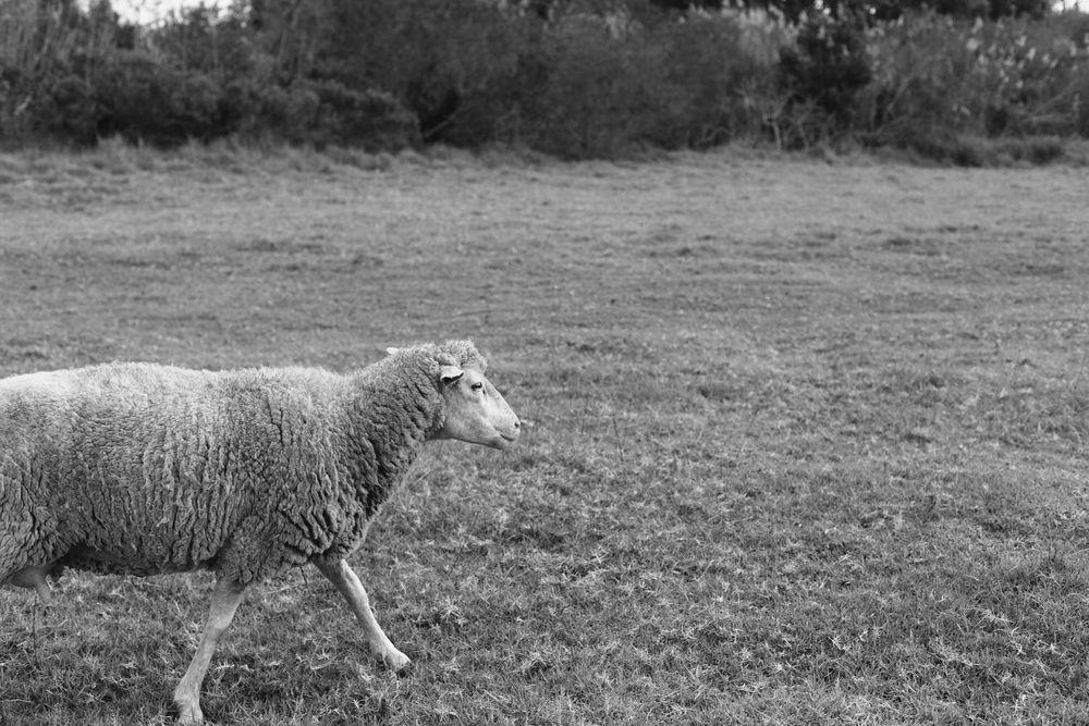 sheep farm western cape