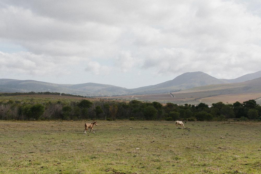 wild horses weatern cape