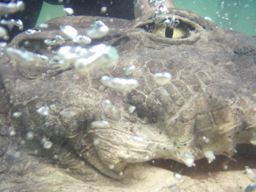 close up croc head