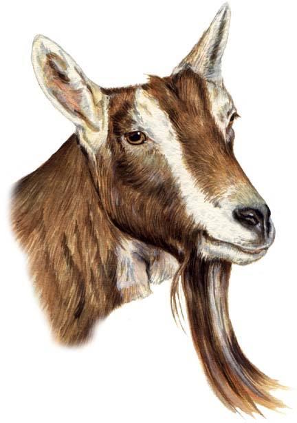 Bibbette (Alpine Goat)