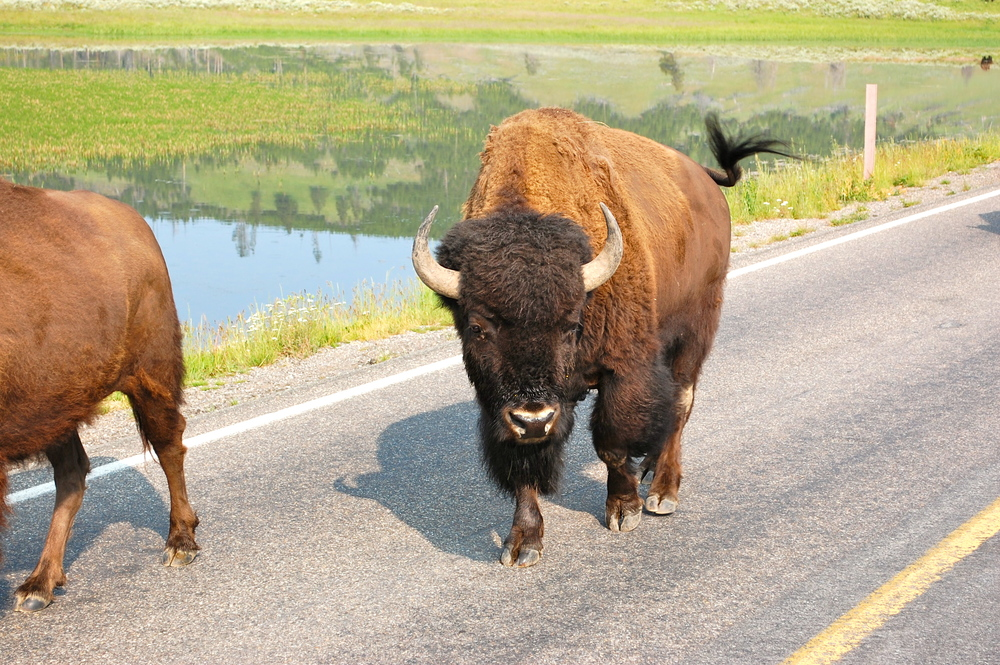 My Dad: Hey! Are you all males, or do you have some females in that bunch? Bison: …..